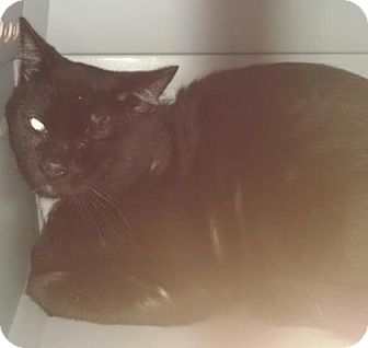 Domestic Shorthair Cat for adoption in Gloucester, Virginia - DR. MEOWZ