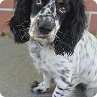 Adopt A Pet :: Luna - Sherman Oaks, CA