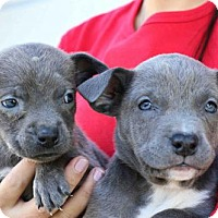Adopt A Pet :: Carmilla Puppies - Females - San Diego, CA