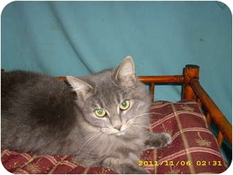 Domestic Mediumhair Cat for adoption in Wilmington, Delaware - Tiffany