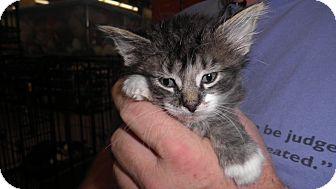 Maine Coon Kitten for adoption in Warren, Michigan - Raja