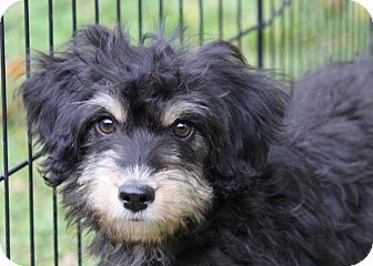 Poodle (Miniature)/Yorkie, Yorkshire Terrier Mix Puppy for adoption in Louisville, Kentucky - Gucci