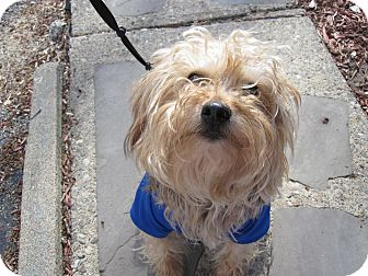 Yorkie, Yorkshire Terrier/Poodle (Miniature) Mix Dog for adoption in Sparta, New Jersey - Pluto - Yorkipoo