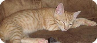 Domestic Shorthair Kitten for adoption in Schertz, Texas - Corbin