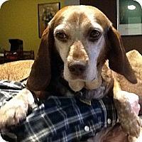 Adopt A Pet :: Freckles - Novi, MI