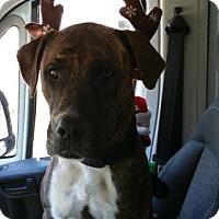 Adopt A Pet :: Coco - Chatham, VA