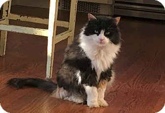 Calico Cat for adoption in Oakland Gardens, New York - LEXI