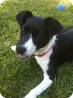 border collie jack russell terrier mix magpie pending adoption adopted dog tracy ca 3309