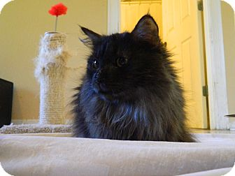 Domestic Longhair Cat for adoption in Jupiter, Florida - Gretchen