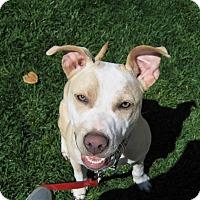 Adopt A Pet :: Violet - San Jose, CA