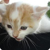 Adopt A Pet :: Eb litter - Devon - Livonia, MI