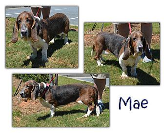 Basset Hound Dog for adoption in Marietta, Georgia - Mae