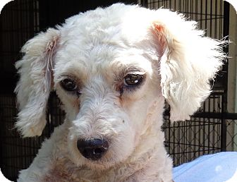 Poodle (Miniature) Dog for adoption in Crump, Tennessee - Brently