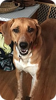 Hound (Unknown Type) Mix Dog for adoption in Monroe, North Carolina - Willow