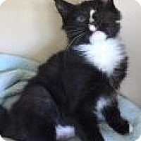 Adopt A Pet :: Mittens - East Hanover, NJ