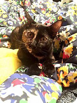 Domestic Shorthair Kitten for adoption in Council Bluffs, Iowa - 3422 Delta Dawn -SA