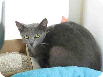 Domestic Mediumhair Cat for adoption in Carlsbad, California - SAPPHIRE