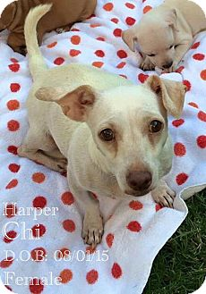 Chihuahua Mix Dog for adoption in DeForest, Wisconsin - Harper