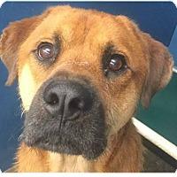 Adopt A Pet :: Bear - Springdale, AR