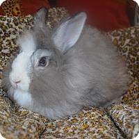 Adopt A Pet :: China Doll- 2 lbs. - Warwick, NY