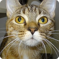 Domestic Shorthair Cat for adoption in Lapeer, Michigan - Vickie
