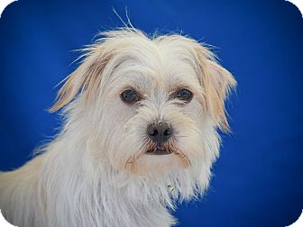 Lhasa Apso/Terrier (Unknown Type, Small) Mix Dog for adoption in Los Angeles, California - CAMMIE