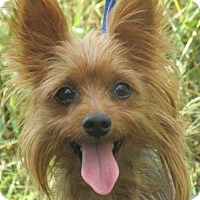 Yorkie, Yorkshire Terrier Mix Dog for adoption in Germantown, Maryland - Nike