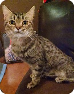 Domestic Mediumhair Cat for adoption in Glendale, Arizona - Cyra