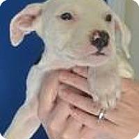 Adopt A Pet :: Indigo - Columbia, SC