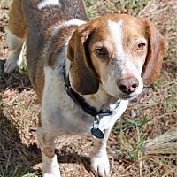 Beagle Dog for adoption in Atlanta, Georgia - Rusty