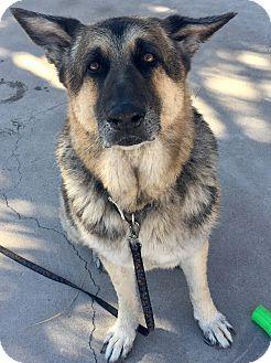 German Shepherd Dog Mix Dog for adoption in Las Vegas, Nevada - Zeus