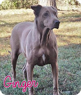 Weimaraner Mix Dog for adoption in Georgetown, South Carolina - Ginger