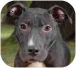 Pit Bull Terrier Mix Dog for adoption in Calumet City, Illinois - Konerko