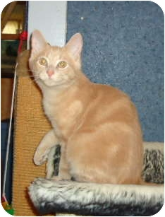 Domestic Shorthair Kitten for adoption in Elmira, Ontario - Gibbs