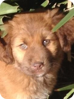Golden Retriever/German Shepherd Dog Mix Puppy for adoption in Torrance, California - BROOKE