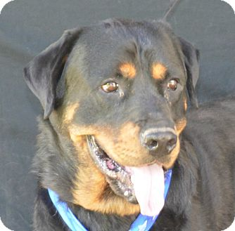 Rottweiler Mix Dog for adoption in Plano, Texas - Wesson