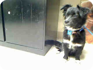 Schipperke Mix Dog for adoption in Antioch, Illinois - Pumpkin