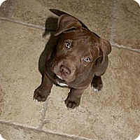 Adopt A Pet :: Coco Bean - Mesa, AZ