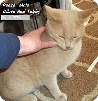 Domestic Mediumhair Cat for adoption in Hazard, Kentucky - Reese