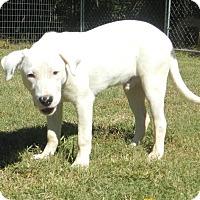 Adopt A Pet :: Bruiser - Reduced Fee $300 - Harrisonburg, VA