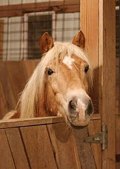 Haflinger for adoption in Pleasant View, Tennessee - Neumark