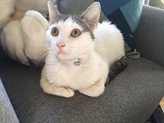 Domestic Shorthair Kitten for adoption in New York, New York - Chardonnay