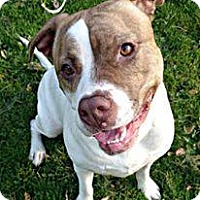 American Pit Bull Terrier Dog for adoption in Des Moines, Iowa - Roxy