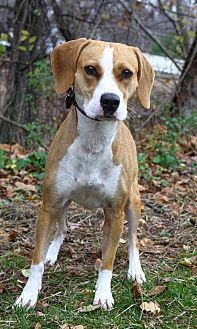 Beagle/Pit Bull Terrier Mix Dog for adoption in Oakland, New Jersey - Bonnie