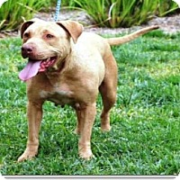 Adopt A Pet :: Dog - ID#A1271673 - calimesa, CA