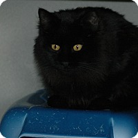 Domestic Mediumhair Cat for adoption in Buffalo, Wyoming - Spruce