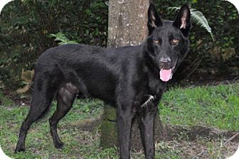 Shepherd (Unknown Type)/Belgian Malinois Mix Dog for adoption in Boca Raton, Florida - Magnum