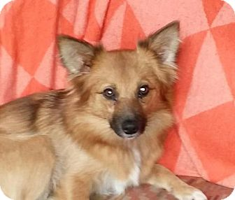 Pomeranian/Sheltie, Shetland Sheepdog Mix Dog for adoption in Parker Ford, Pennsylvania - Lacy