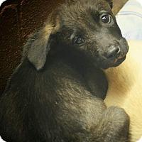 Labrador Retriever Mix Puppy for adoption in Boca Raton, Florida - Ginger
