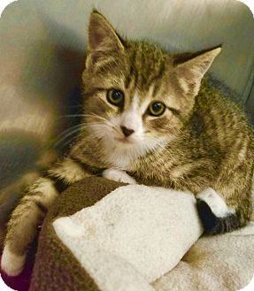 Domestic Shorthair Kitten for adoption in Marlton, New Jersey - Boo